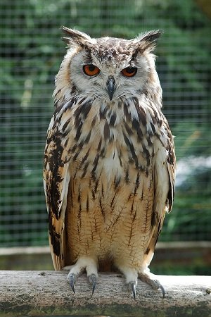 800px-Bengalese_Eagle_Owl.jpg